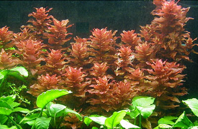 Rotala images