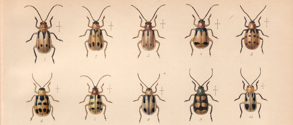 Identification of Diabrotica species (Coleoptera: Chrysomelidae) from ...