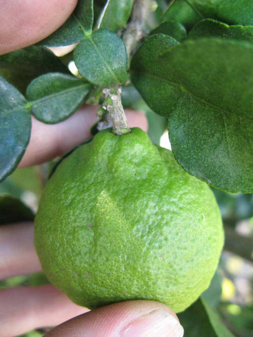 Citrus ID: Fact Sheet: Combava