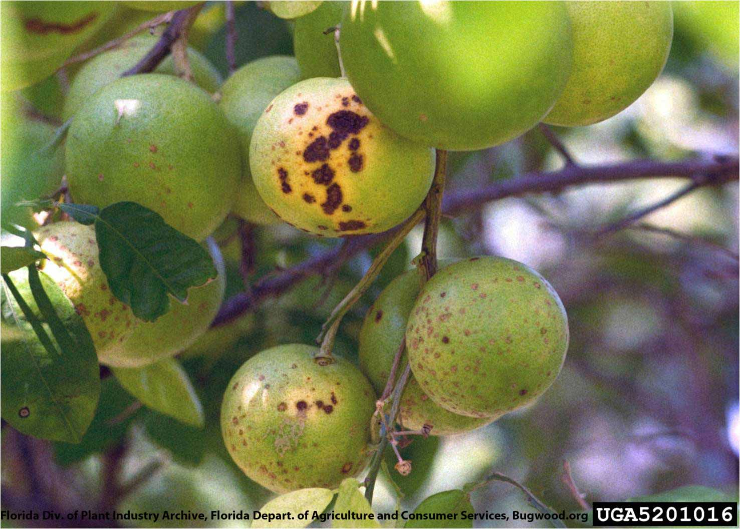 the effects of citrus canker and citrus Citrus canker, caused by the bacterium xanthomonas citri pv citri (xcc), is an endemic quarantine disease in northeastern argentina, where weather conditions conducive to disease.
