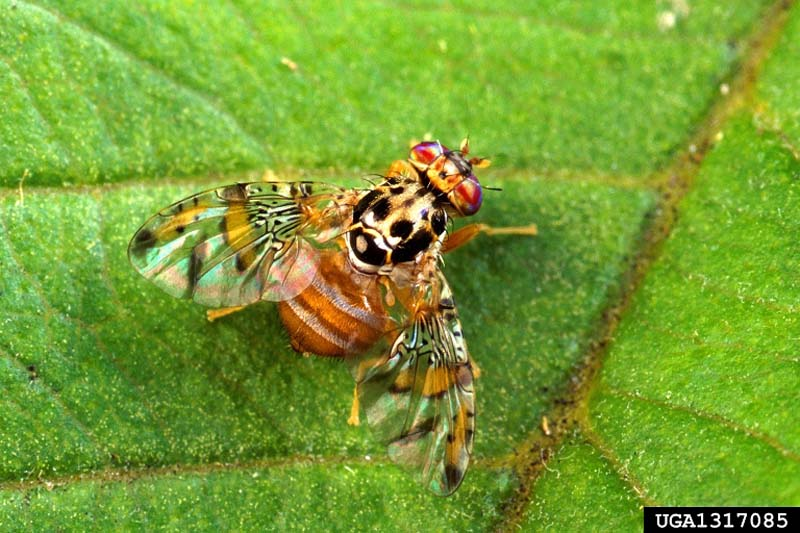 Fruit Fly Facts Mediterranean