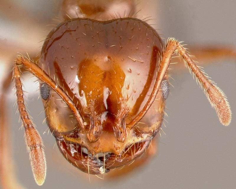 Queen red ant - photo#18