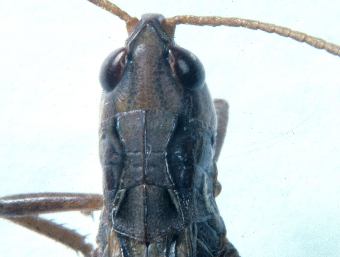 dorsal view of head and pronotum of adult male