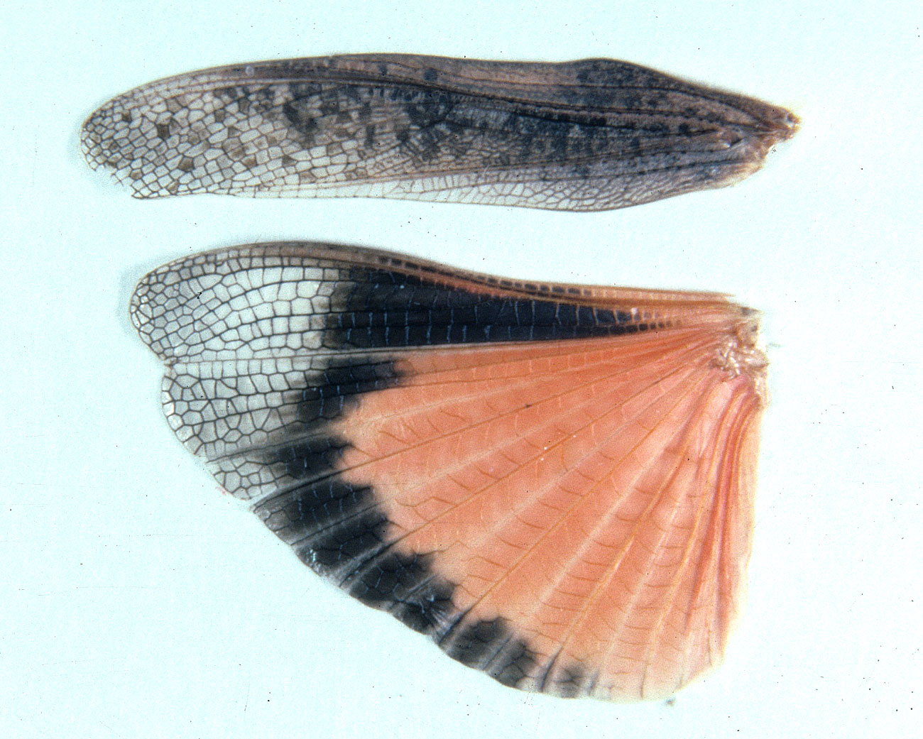 forewing (tegmen) and hindwing of female