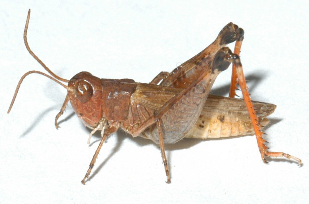 adult male: BL 15.5-16.2 mm, FL 9-9.7 mm, AS 25