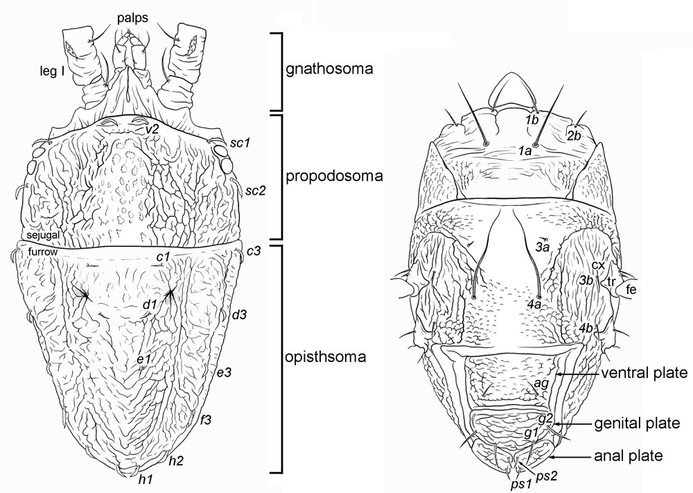 flat mites of the world