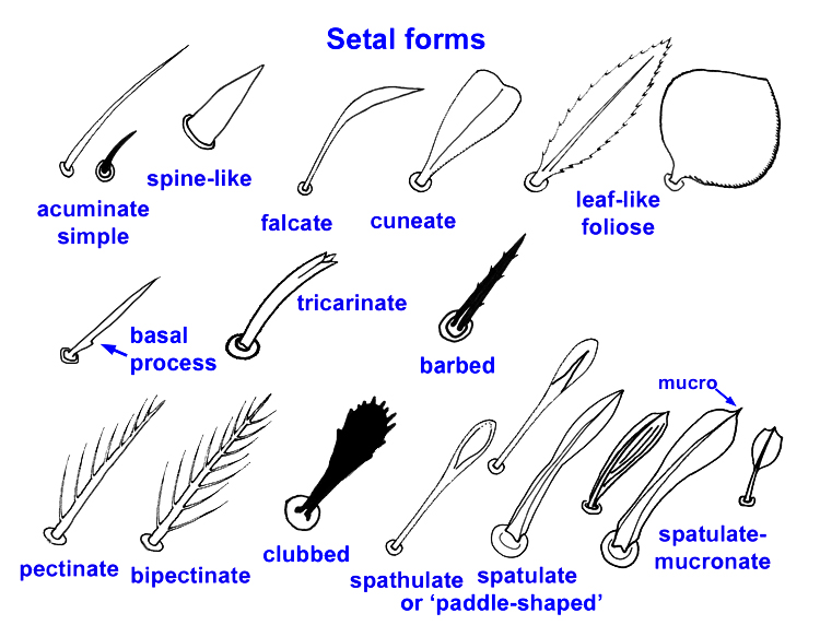 Glossary Of Acarine Terms