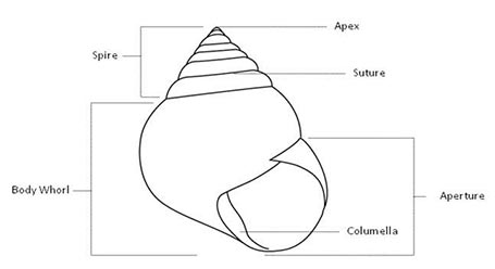 biology and ecology rh idtools org Sinistral Shell Diagram Gastropod Snail Shell Diagram