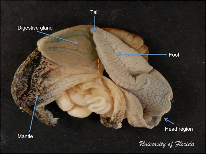 diagram of clam anatomy snail dissection  snail dissection