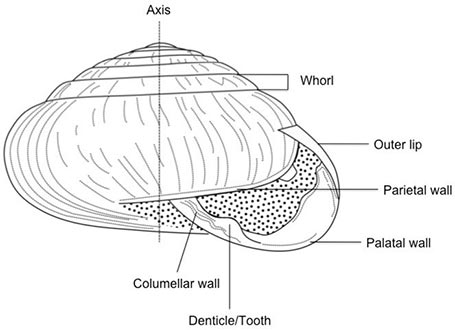 how to identify terrestrial gastropods rh idtools org Sinistral Shell Diagram Scallop Shell Diagram of External
