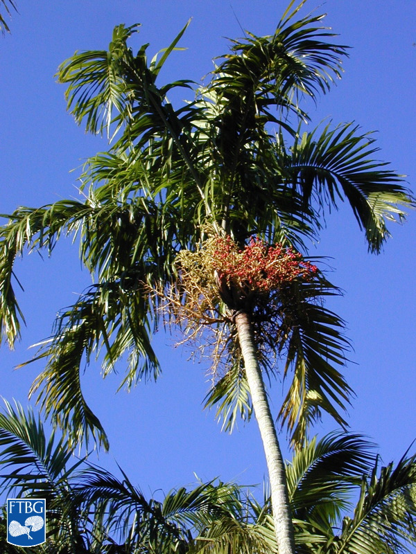 "<p><em>Carpentaria acuminata</em> canopy. Photograph courtesy of Fairchild Tropical Botanical Garden, Guide to Palms <a href=""http://palmguide.org/index.php"">http://palmguide.org/index.php</a></p>"