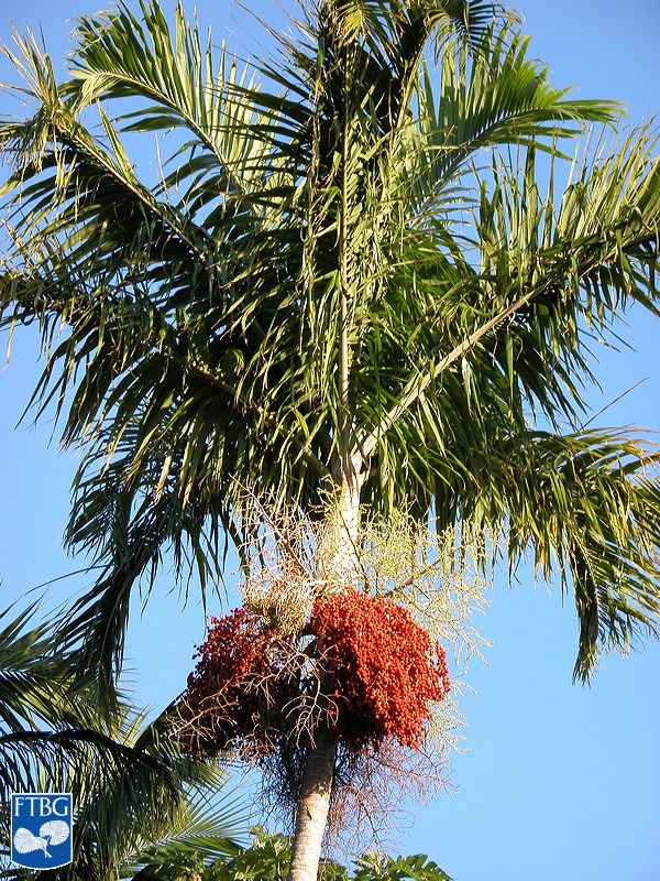 "<p><em>Carpentaria acuminata</em> canopy with ripe fruit. Photograph courtesy of Fairchild Tropical Botanical Garden, Guide to Palms <a href=""http://palmguide.org/index.php"">http://palmguide.org/index.php</a></p>"