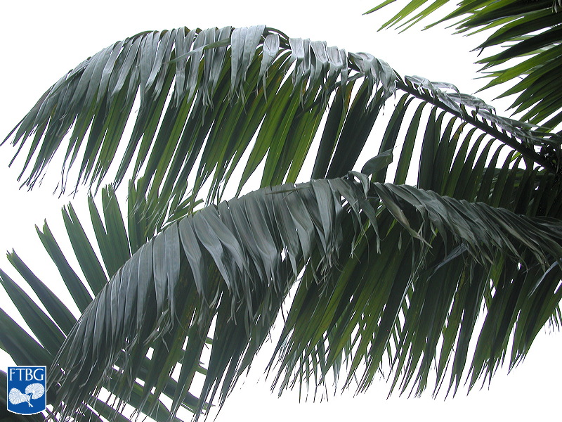 "<p><em>Veitchia joannis</em> leaves. Photograph courtesy of Fairchild Tropical Botanical Garden, Guide to Palms <a href=""http://palmguide.org/index.php"">http://palmguide.org/index.php</a></p>"