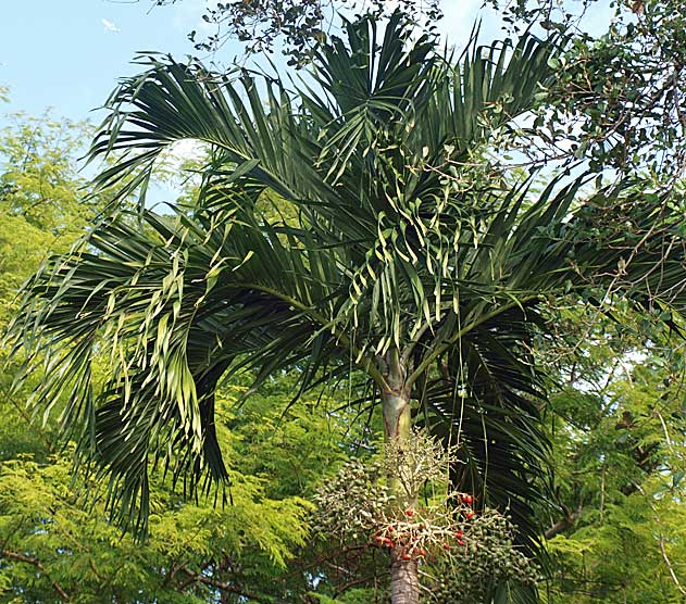 <p><em>Adonidia merrillii</em> canopy of several leaves, with arching rachis, V-shaped leaflets, drooping leaflet tips</p>