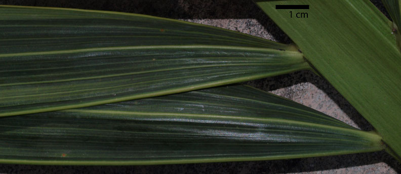 <p><em>Adonidia merrillii</em> leaflet upper surface, with prominent midrib and marginal veins (cm scale)</p>