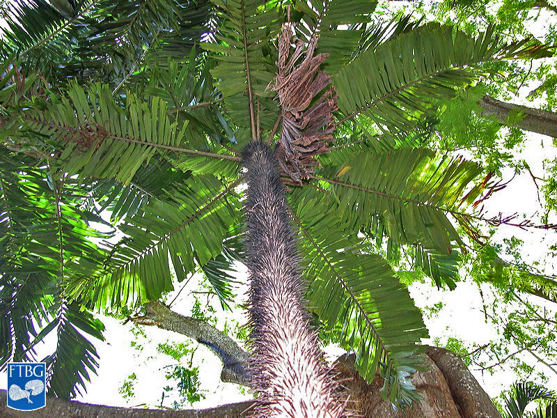 "<p><em>Aiphanes minima</em> leaf canopy and spines on mature stem. Photograph courtesy of Fairchild Tropical Botanical Garden, Guide to Palms <a href=""http://palmguide.org/index.php"">http://palmguide.org/index.php</a></p>"