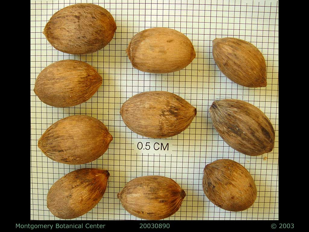 "<p><em>Attalea cohune</em> seeds. (MBC photo: 030890-1). Photograph courtesy of Montgomery Botanical Center <a href=""http://www.montgomerybotanical.org/"">http://www.montgomerybotanical.org/</a></p>"