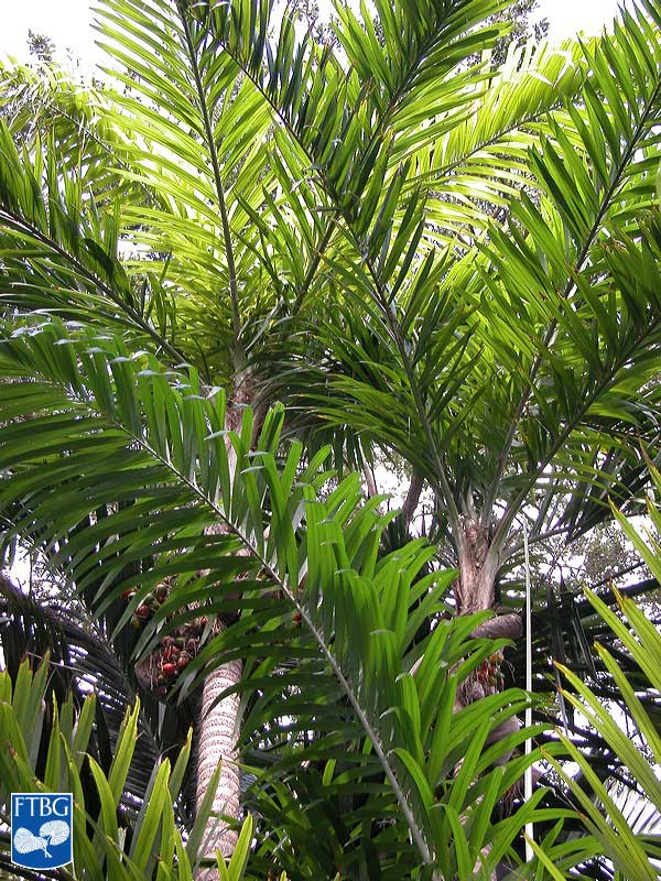 "<p><em>Bactris gasipaes </em>leaves speading in multiple planes. Photograph courtesy of Fairchild Tropical Botanical Garden, Guide to Palms <a href=""http://palmguide.org/index.php"">http://palmguide.org/index.php</a></p>"