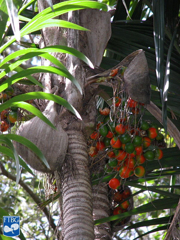 "<p><em>Bactris gasipaes </em>infructescence with fruit and spiny bracts. Photograph courtesy of Fairchild Tropical Botanical Garden, Guide to Palms <a href=""http://palmguide.org/index.php"">http://palmguide.org/index.php</a></p>"