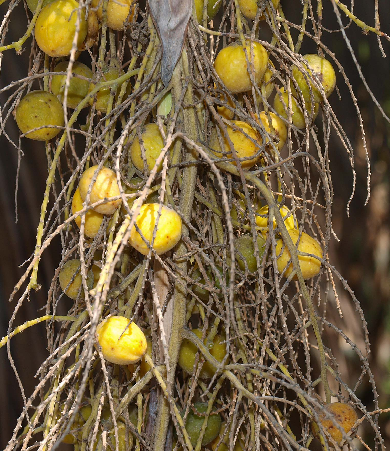 <p><em>Brahea armata</em> immature yellow fruit</p>