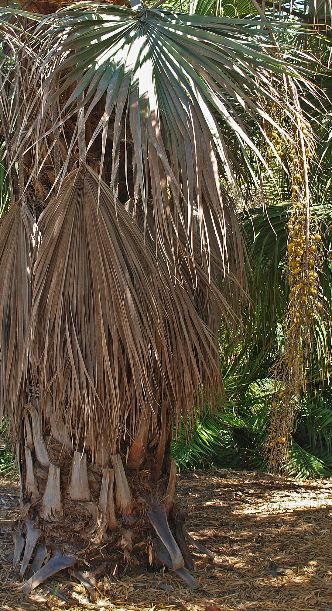 <p><em>Brahea armata</em> mature palm with fruit</p>