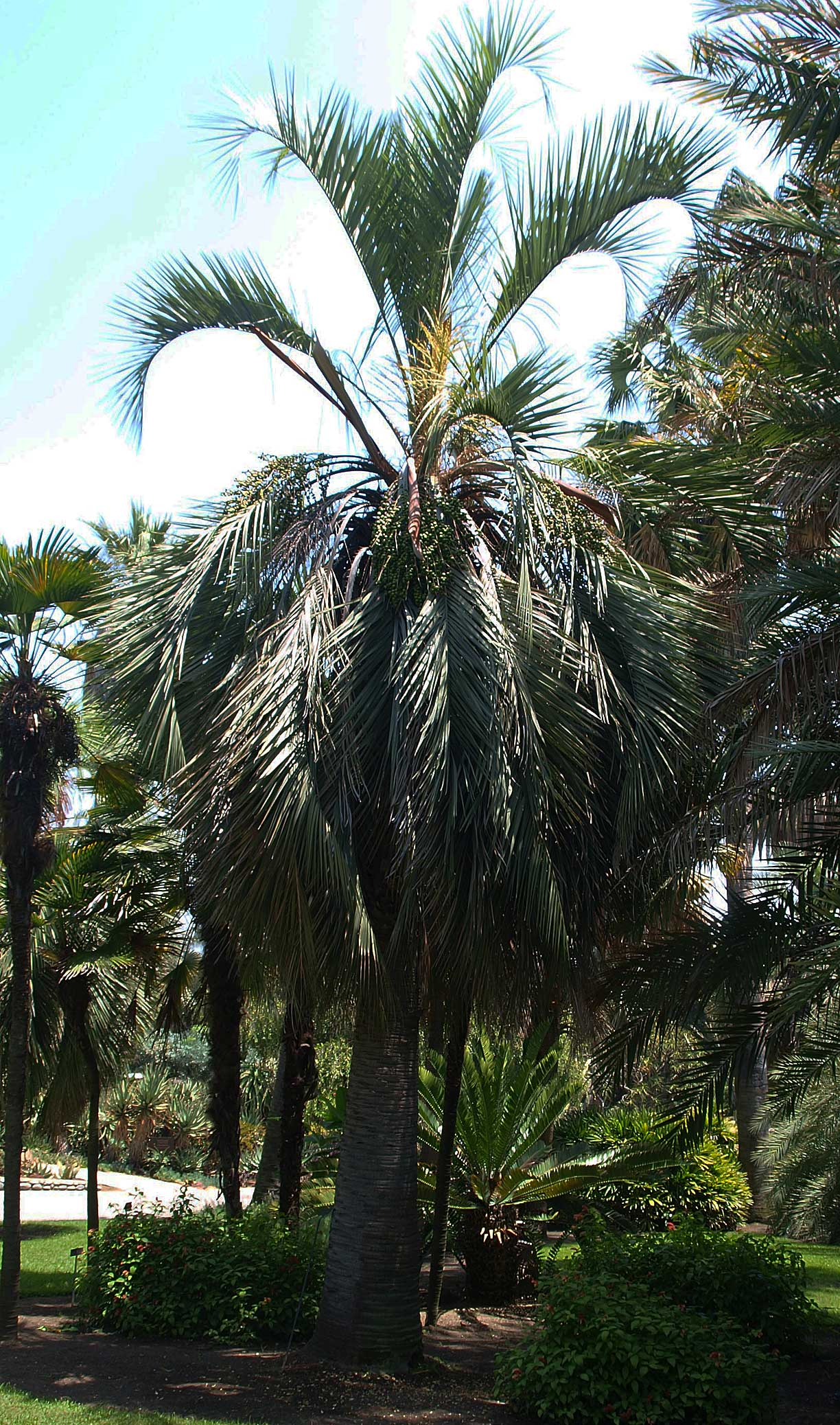 <p><em>Butia capitata</em> older individual in the landscape with smoother stem and leaf scars rings</p>