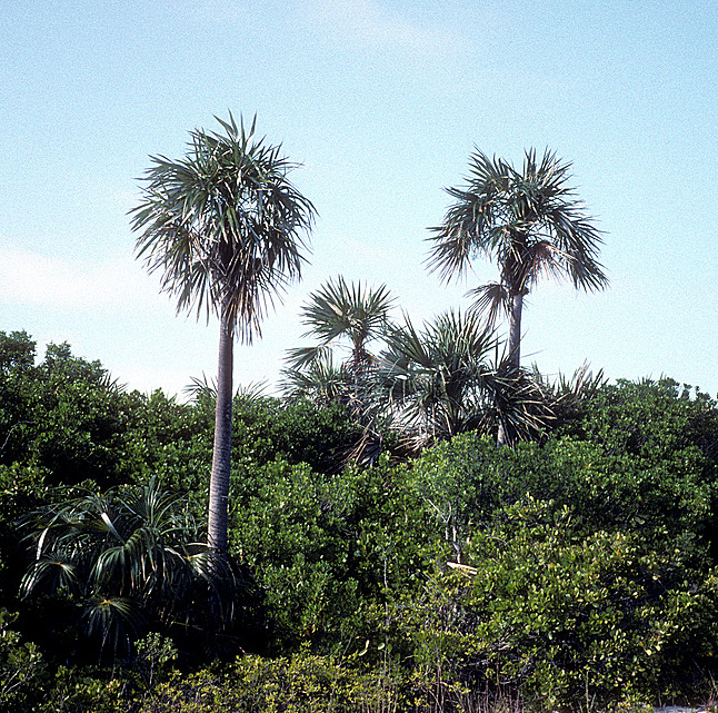 <p><em>Coccothrinax argentata</em> habit. Photograph courtesy of Scott Zona.</p>