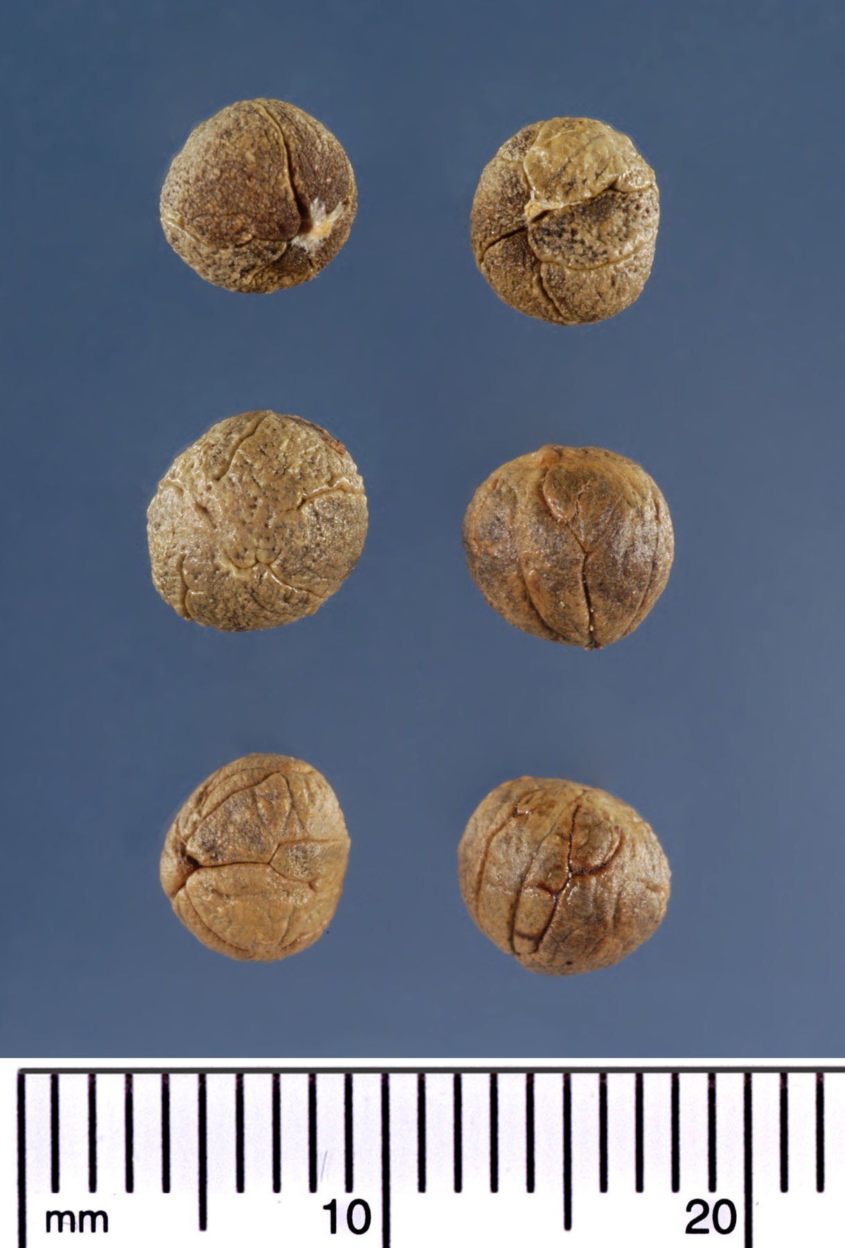 <p><em>Coccothrinax argentata</em> seeds. Photograph courtesy of Mariana P. Beckman, DPI</p>