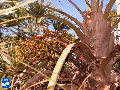 "<p><em>Coccothrinax argentata</em> petioles (not split). Photograph courtesy of Fairchild Tropical Botanical Garden, Guide to Palms <a href=""http://palmguide.org/index.php"">http://palmguide.org/index.php</a></p>"