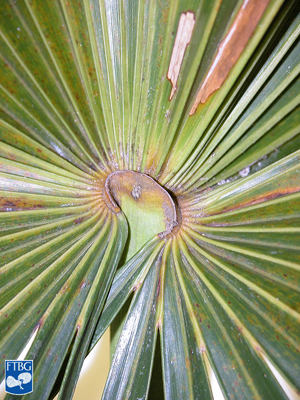 "<p><em>Coccothrinax argentata</em> adaxial hastula. Photograph courtesy of Fairchild Tropical Botanical Garden, Guide to Palms <a href=""http://palmguide.org/index.php"">http://palmguide.org/index.php</a></p>"