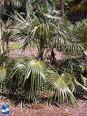"<p><em>Coccothrinax argentata</em> young palm. Photograph courtesy of Fairchild Tropical Botanical Garden, Guide to Palms <a href=""http://palmguide.org/index.php"">http://palmguide.org/index.php</a></p>"