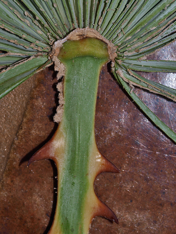 <p><em>Copernicia alba</em> adaxial hastula and teeth along petiole</p>