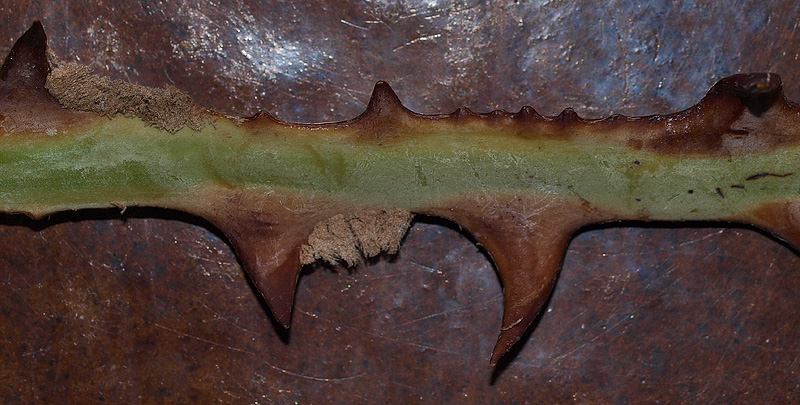 <p><em>Copernicia alba</em> petiole with teeth and pubescence</p>