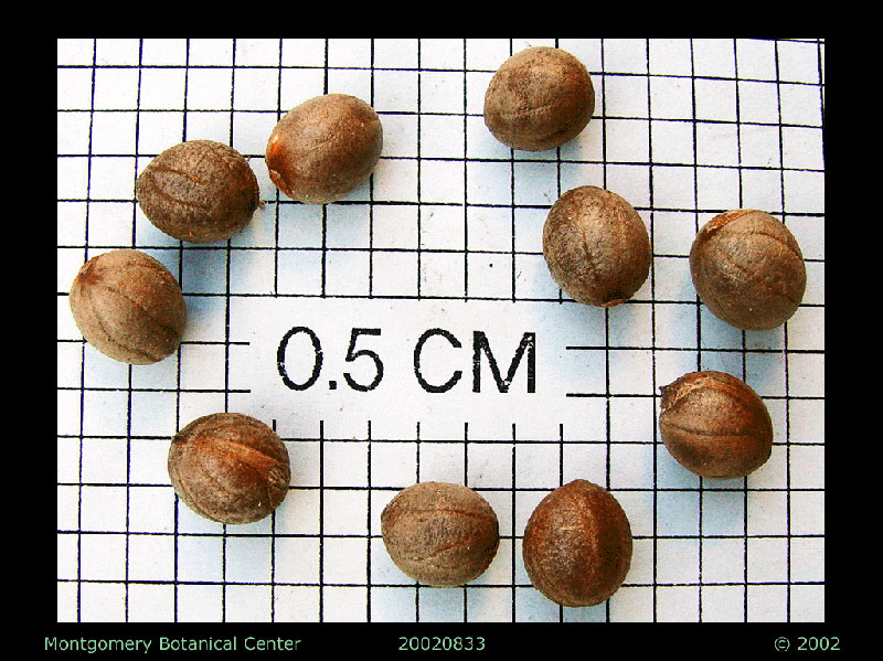 "<p><em>Copernicia alba</em> seeds (MBC photo: 20070283-1). Photograph courtesy of Montgomery Botanical Center <a href=""http://www.montgomerybotanical.org/"">http://www.montgomerybotanical.org/</a></p>"