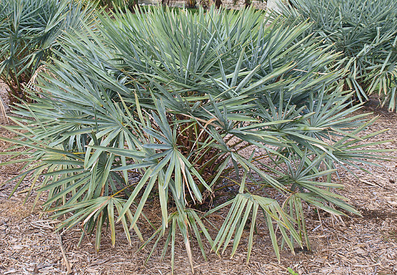 <p><em>Copernicia alba</em> habit of immature palm</p>