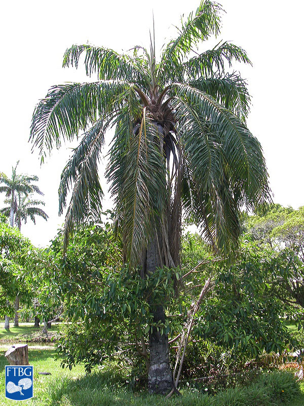 "<p><em>Elaeis guineensis</em> habit. Photograph courtesy of Fairchild Tropical Botanical Garden, Guide to Palms <a href=""http://palmguide.org/index.php"">http://palmguide.org/index.php</a></p>"