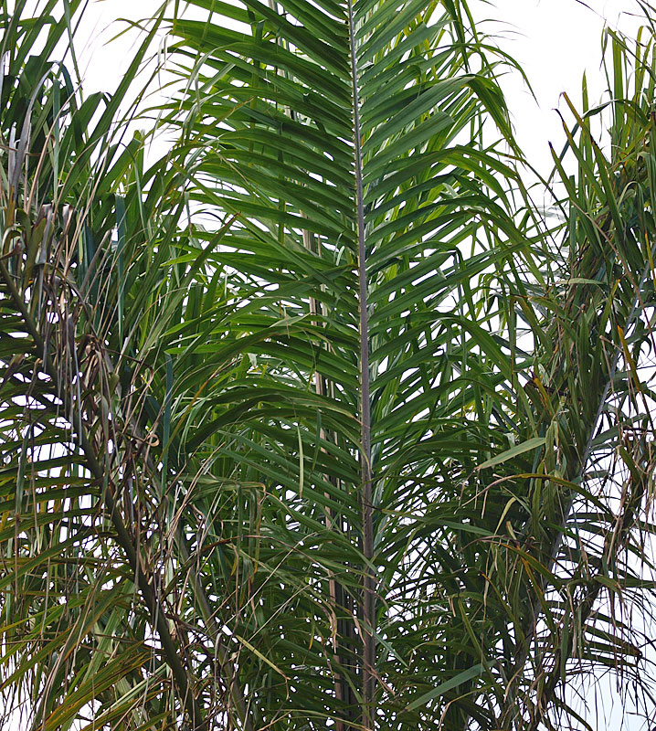 <p><em>Elaeis guineensis</em> leaves of young palm</p>