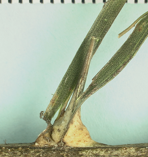 <p><em>Elaeis guineensis</em> spine arising from leaflet midrib (mm scale)</p>