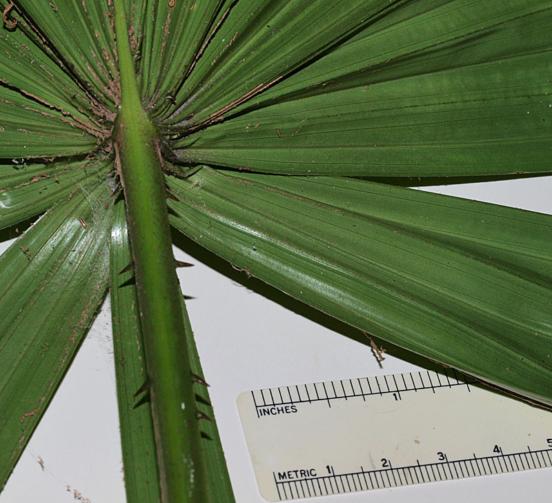 Gallery | Identifying Commonly Cultivated Palms