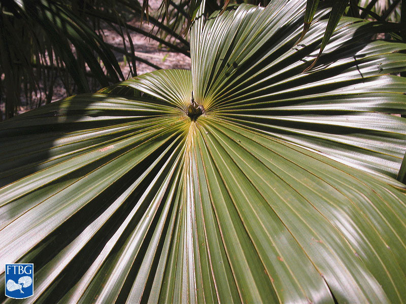 "<p><em>Livistona australis</em> leaf. Photograph courtesy of Fairchild Tropical Botanical Garden, Guide to Palms <a href=""http://palmguide.org/index.php"">http://palmguide.org/index.php</a></p>"