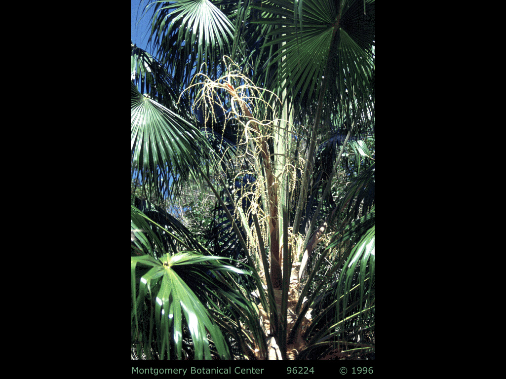 "<p><em>Livistona australis</em> young palm with inflorescence. (MBC photo: 981800-GD01) Photograph courtesy of Montgomery Botanical Center <a href=""http://www.montgomerybotanical.org/"">http://www.montgomerybotanical.org/</a></p>"