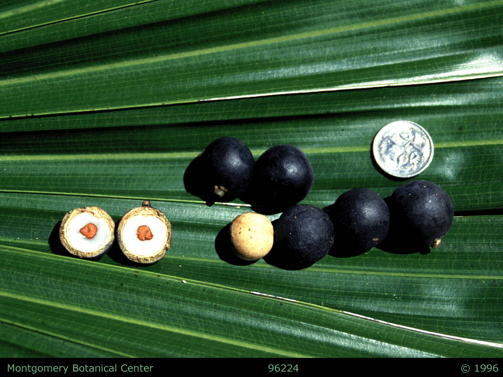 "<p><em>Livistona australis</em> fruit. (MBC photo: 96224r) Photograph courtesy of Montgomery Botanical Center <a href=""http://www.montgomerybotanical.org/"">http://www.montgomerybotanical.org/</a></p>"