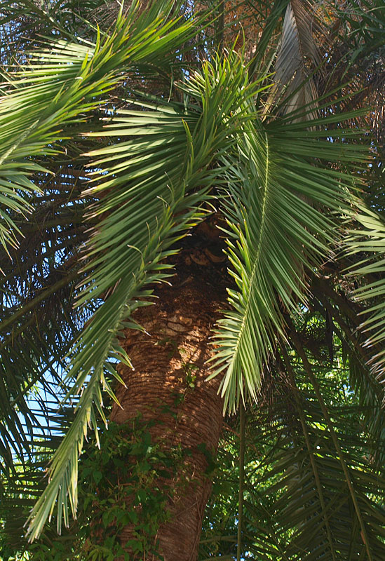 <p><em>Phoenix canariensis </em>leaves with twisted rachis</p>