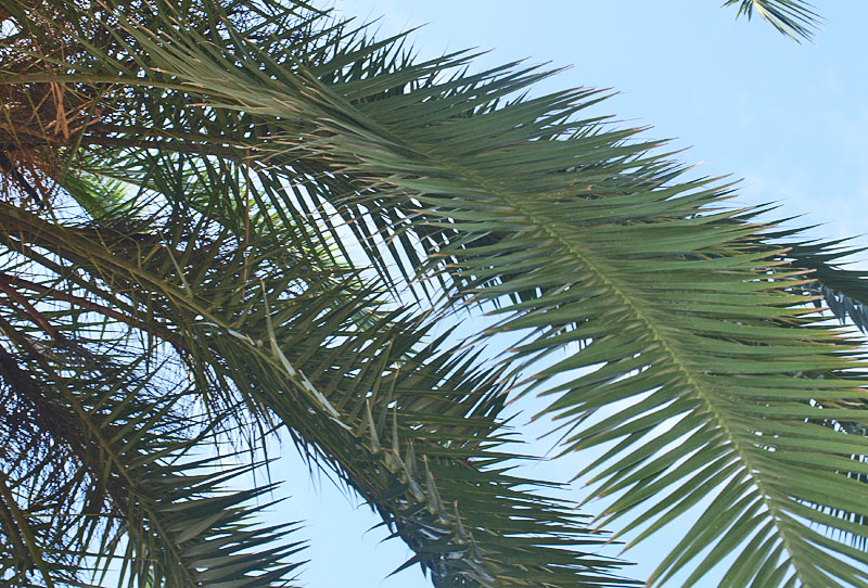 <p><em>Phoenix canariensis </em>leaves with leaflets in several planes</p>