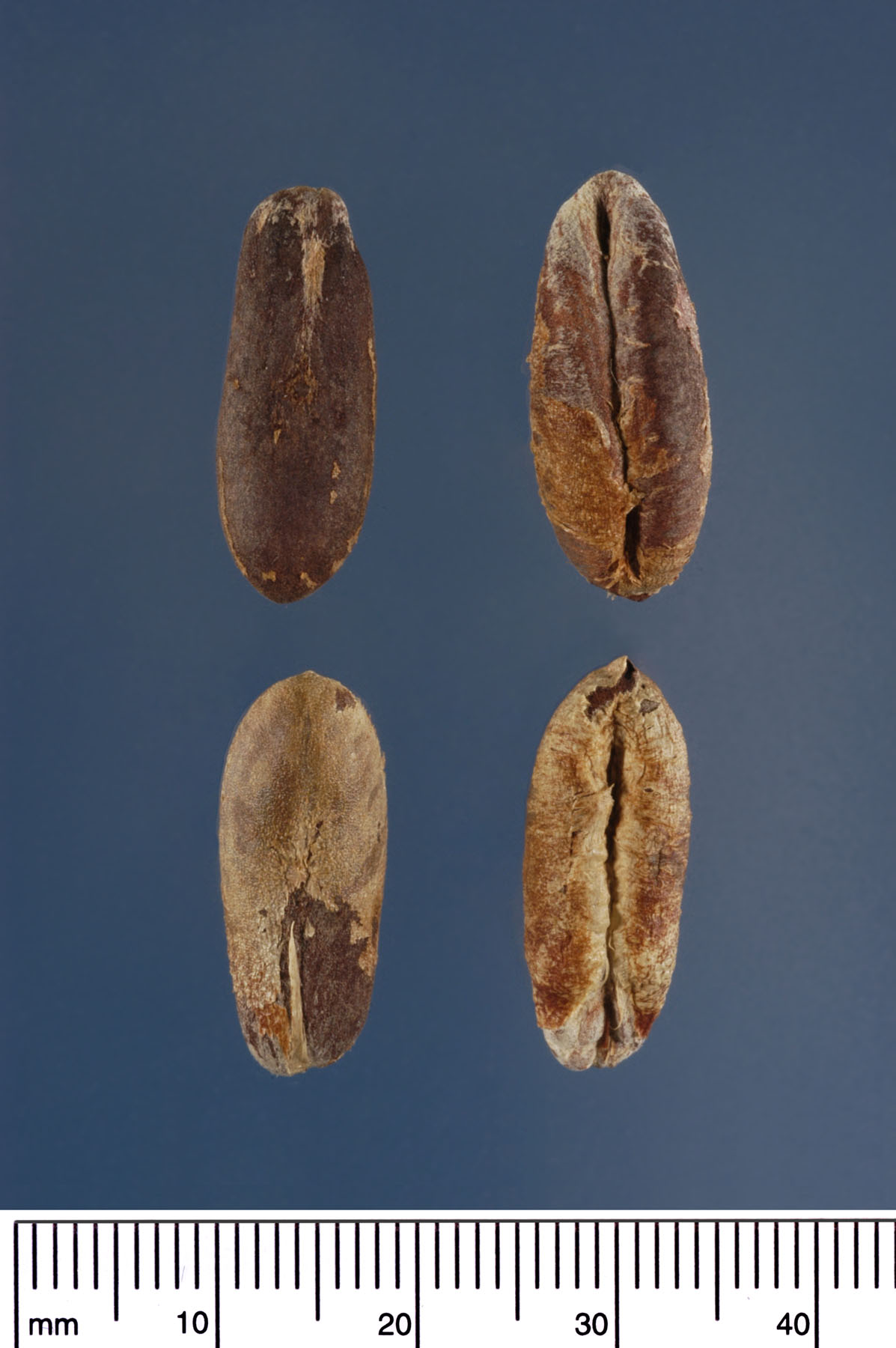 <p><em>Phoenix dactylifera </em>seeds. Photograph courtesy of Mariana P. Beckman, DPI</p>