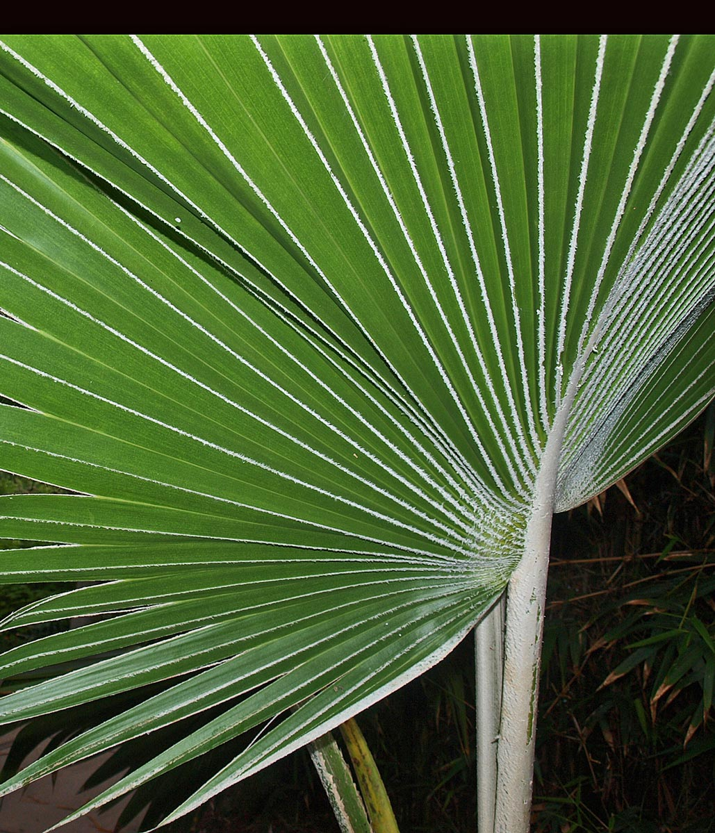 <p><em>Pritchardia hillebrandii</em> leaf with dense white tomentum on petiole and midribs</p>