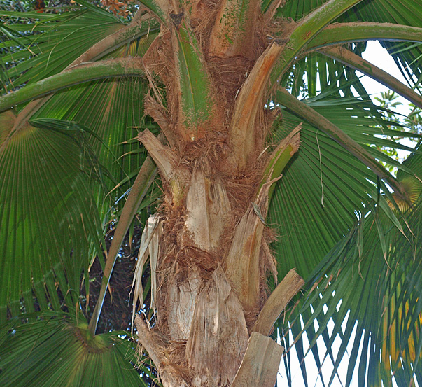 <p><em>Pritchardia hillebrandii</em> stem and leaf canopy</p>