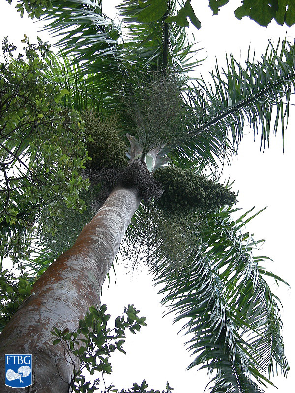 "<p><em>Roystonea borinquena. </em>Photograph courtesy of Fairchild Tropical Botanical Garden, Guide to Palms <a href=""http://palmguide.org/index.php"">http://palmguide.org/index.php</a></p>"