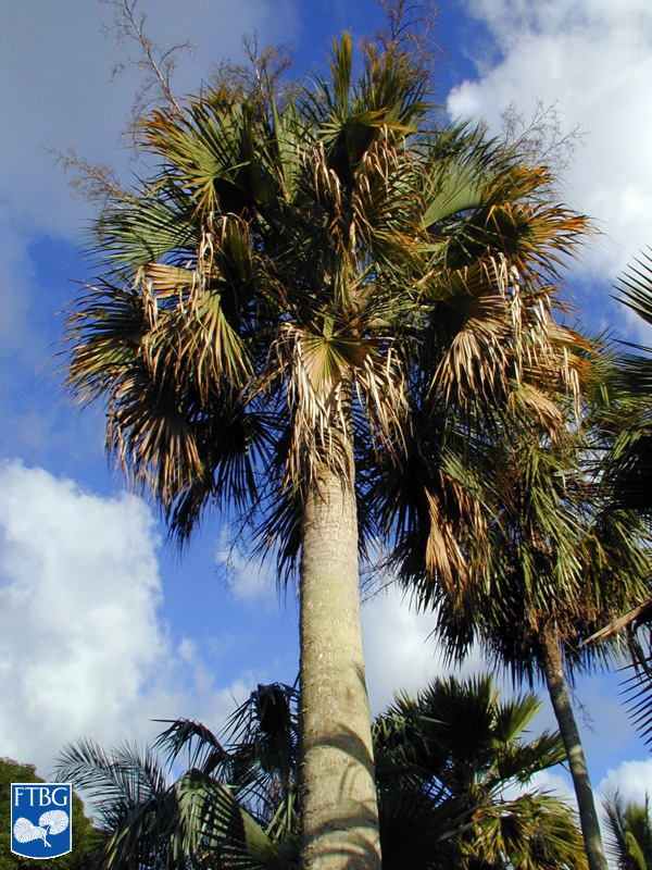 "<p><em>Sabal causiarum</em> habit. Photograph courtesy of Fairchild Tropical Botanical Garden, Guide to Palms <a href=""http://palmguide.org/index.php"">http://palmguide.org/index.php</a></p>"