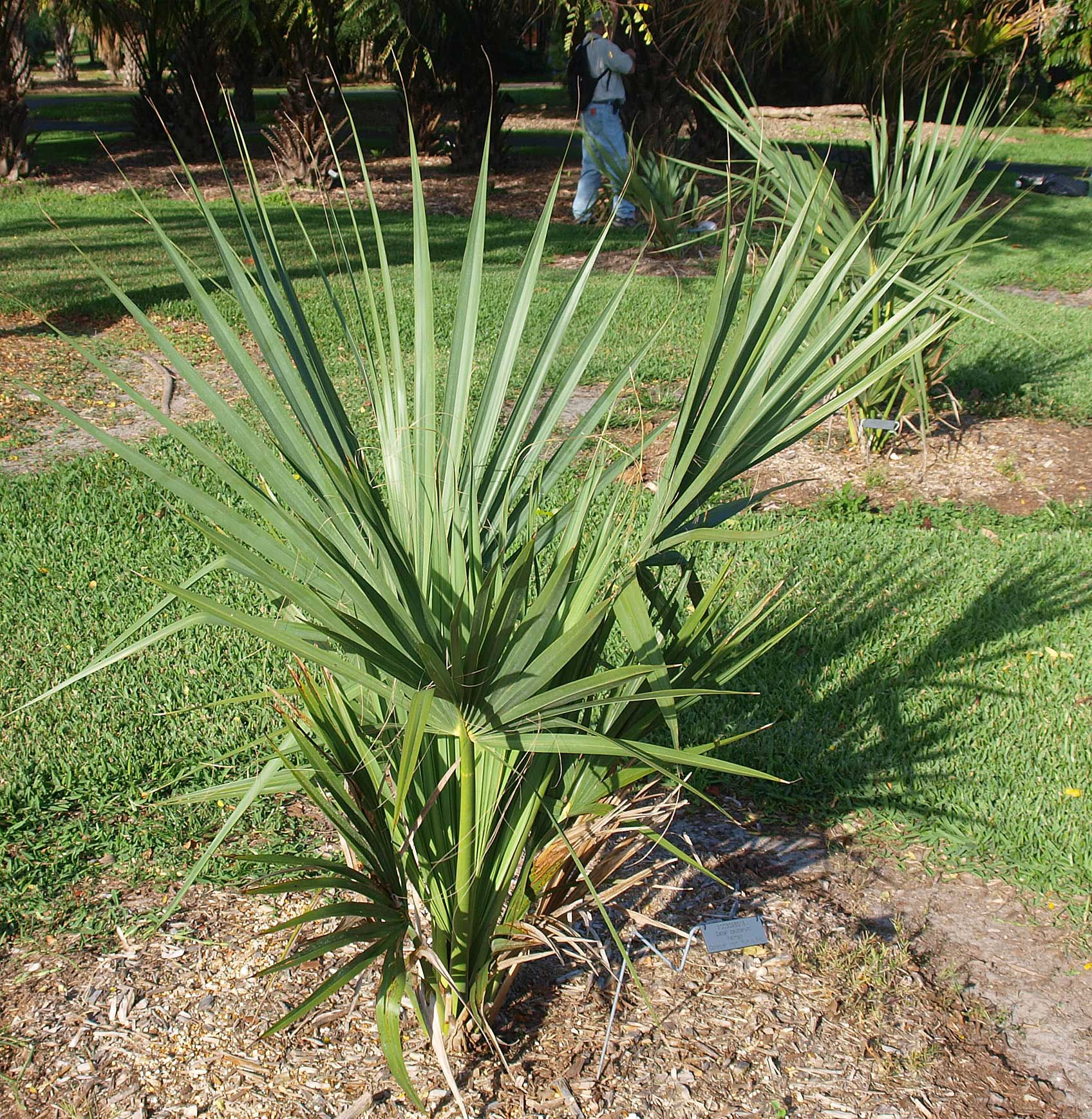 <p><em>Sabal causiarum</em> habit, juvenile palm</p>